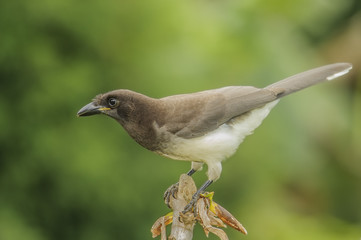 Brown Jay Perched