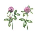 Watercolor clover flower