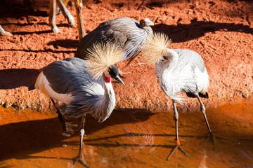 Grey crowned crane (Balearica regulorum) at zoo.