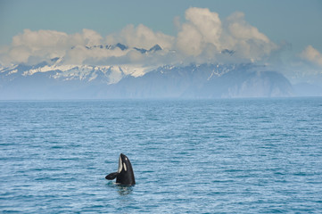 Orca Whale jumping in Resurrection Bay, Kenai Fjord in Alaska
