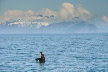 Orca Whale jumping in Resurrection Bay, Kenai Fjord in Alaska