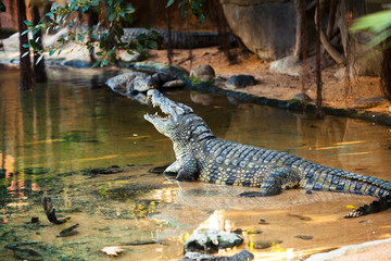 Crocodile in the water with opened mouth