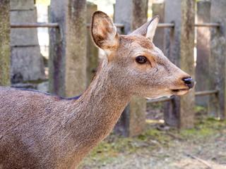 Deer is common animal in Nara, Japan