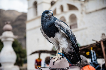Falco, Perù