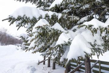 snow coveredfir tree