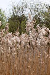 Flowering reeds
