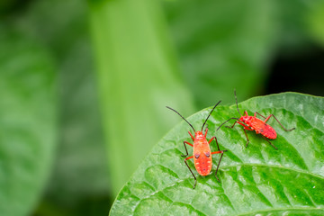 Two red bugs