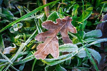 Frost oak leaf
