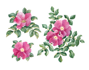 Watercolor dog rose illustration