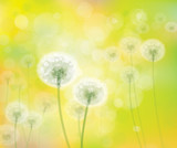 Vector spring background with white dandelions.