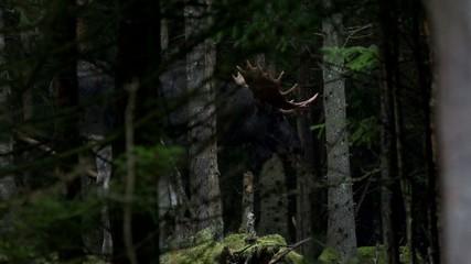 Elche in Schweden - Herbst