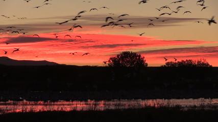 Sunrise Snow Goose Flight