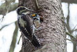 Picoides tridactylus , Three-toed Woodpecker.