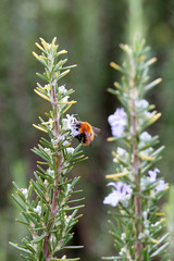 A rosemary shrub with bumblebee