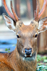 Head of Sika deer