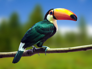 Toco Toucan against wildness