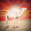 The Arabian camel (Camelus dromedarius) on the desert.