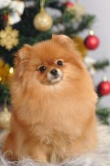 pomeranian dog  in home