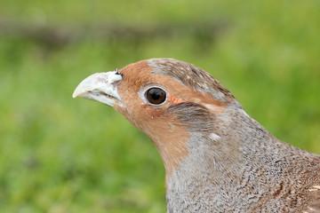 starna uccello