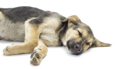 dog sleeping on a white background