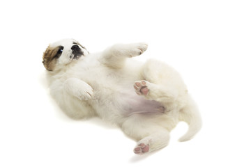 Caucasian Shepherd puppy on a white background