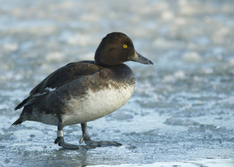 Tufted duck on the ice