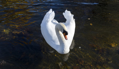 Beautiful swan swimming with wings up