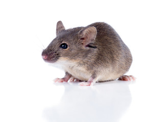 Sulkily Common house mouse on a white background