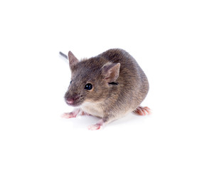 A Common house mouse (Mus musculus) on a white background
