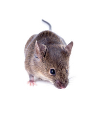 A Common house mouse (Mus musculus) sniffing on white background