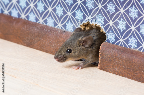 Common house mouse  looks out from a mink in the wall - 74452936