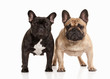 Two French bulldog puppies on white background