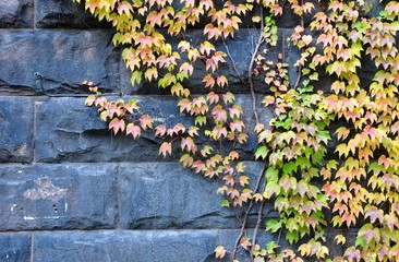 Boston Ivy creeper on the wall