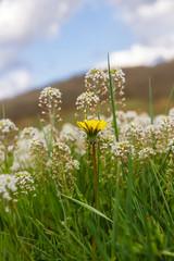 Flores Blancas y Amarilla en Pradera