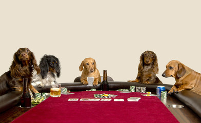 Five Mini Dachshunds playing a game of poker