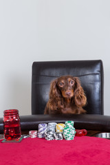 Mini dachshund poses in front of poker chips