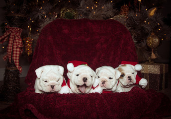 Bulldog puppies lined up for their Christmas picture