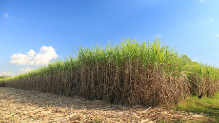 Sugar cane field in blue sky