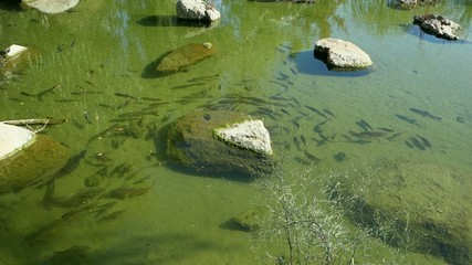 Fishes in a pond.