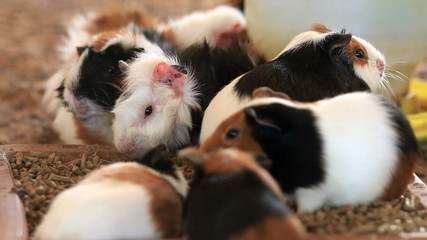 Guinea pig feeding, Close up.