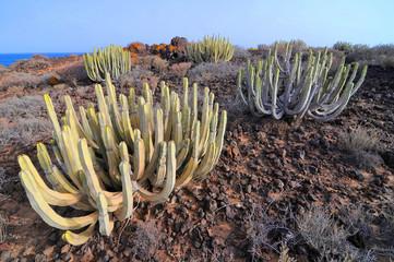 Succulent Cactus Plant  In the Desert