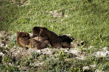 Two bears - the mother with baby - breastfeeding