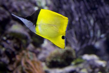Рыба -бабочка пинцет.