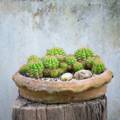 Various cactus plants in the pot against vintage wall background