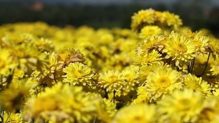 Yellow chrysanthemum flower field blowing in the breeze.