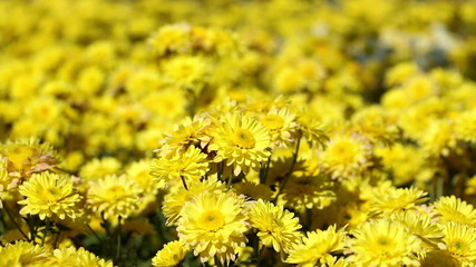 Yellow chrysanthemum flower field blowing in the breeze.