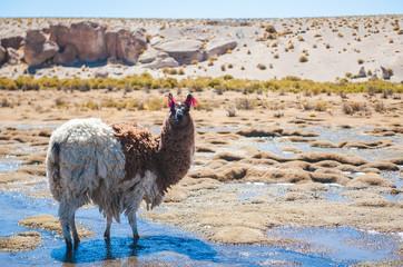 Alpaca, Bolivia