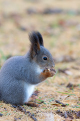 squirrel closeup