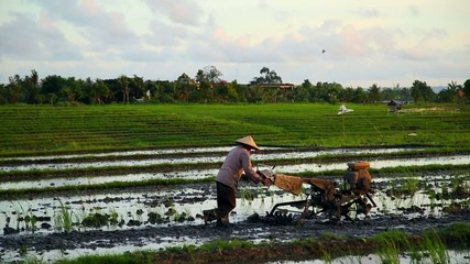 agricultural work in rice paddies