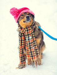Dog wearing knee hat with pompom and scarf walking outdoor
